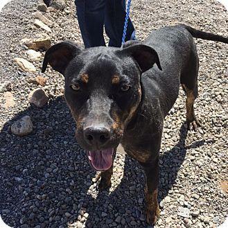 Cedaredge, CO - Australian Shepherd/Rottweiler Mix. Meet Sid, a puppy for adoption. http://www.adoptapet.com/pet/18048058-cedaredge-colorado-australian-shepherd-mix