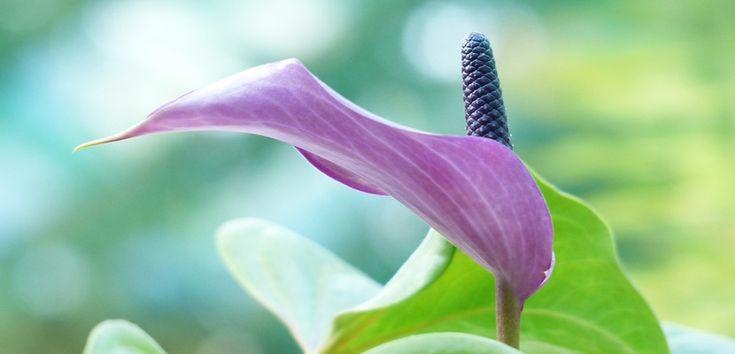 Plantă cu vegetație permanentă originară din pădurile Indoneziei și Americii tropicale, Spathiphyllum - Crinul păcii are un frunziș persistent sub formă de tufă și flori de culoare alb-crem ușor parfumate.