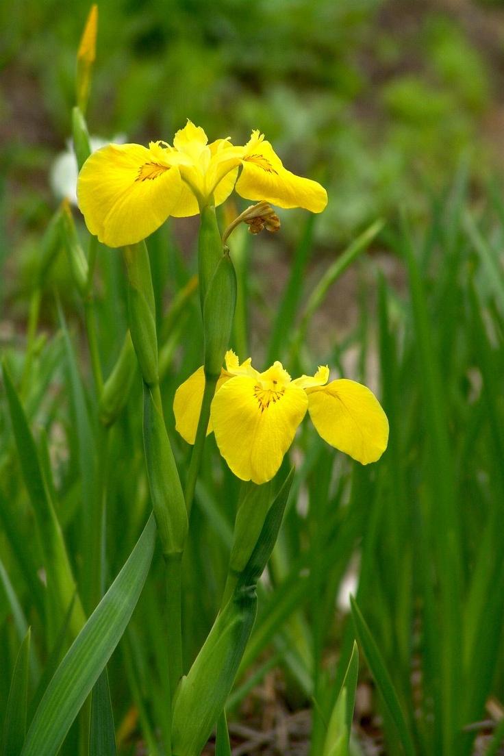 노랑꽃창포