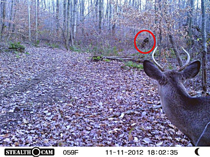 Trail Cam Photo Of Deer And Bigfoot The Crypto Crew