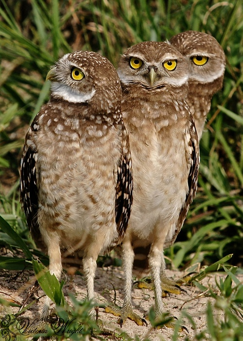 The Owl Brothers