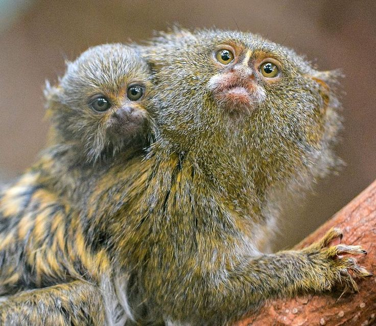 A baby Eastern Pygmy Marmoset – the world's smallest species of Monkey – was born January 3 at Chester Zoo.