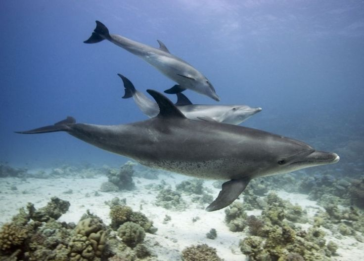 The bottlenose dolphin is the key species to check if strandings and live animals have different stomach contents. This study confirms they have not, which leaves the field clear for extremely valuable research on rare species. #dolphins