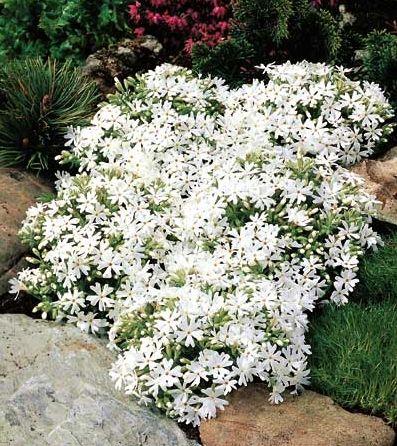 Phlox subulata `Snowflake` partial or full sun