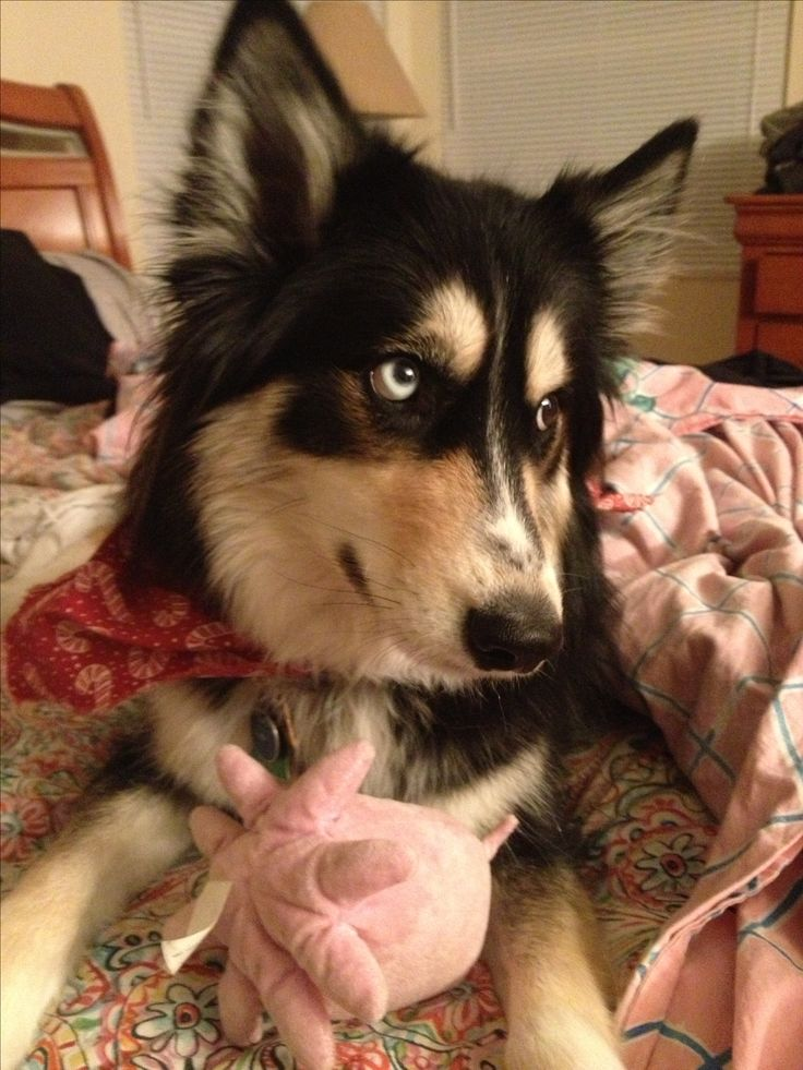 My Siberian Husky/Border Collie mix. | aMinals ...