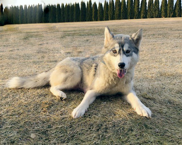 Siberian Husky Puppy For Sale In Moses Lake Wa Adn 68443 On
