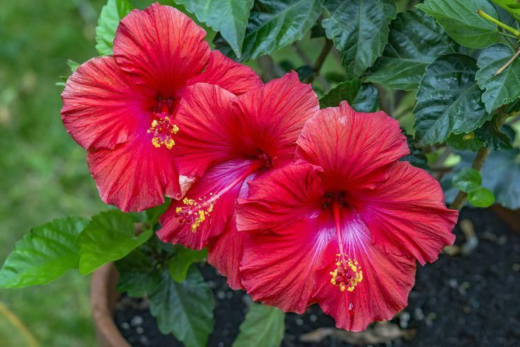 Hibiscus Flower Benefits In Tamil Hibiscus Hibiscus Plant Growing Hibiscus Hibiscus Flower Drawing