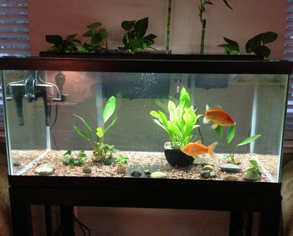 Our 40 Gallon Goldfish Aquarium With Brittany And Nemo