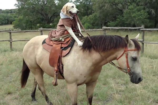 Texas Labrador retriever rides horse like a pro