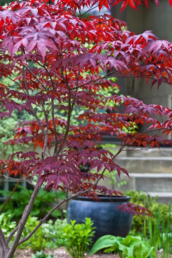 die besten 25 bloodgood japanese maple ideen auf pinterest landschaftsbaub ume ahornbaum und. Black Bedroom Furniture Sets. Home Design Ideas