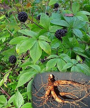 Siberian ginseng: From Russia, With Love - Health Benefits Of Siberian Ginseng, Chaga, and Rhodiola. #superfoods #herbs #longevity #adaptogens