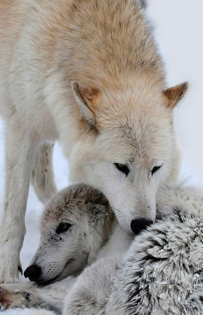 pretty snow on wolf