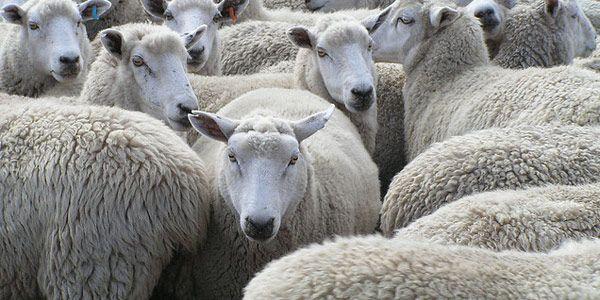 Ik ben (g)een schaap: https://www.youtube.com/watch?v=QOy7lB-P3nk van Jef Staes.