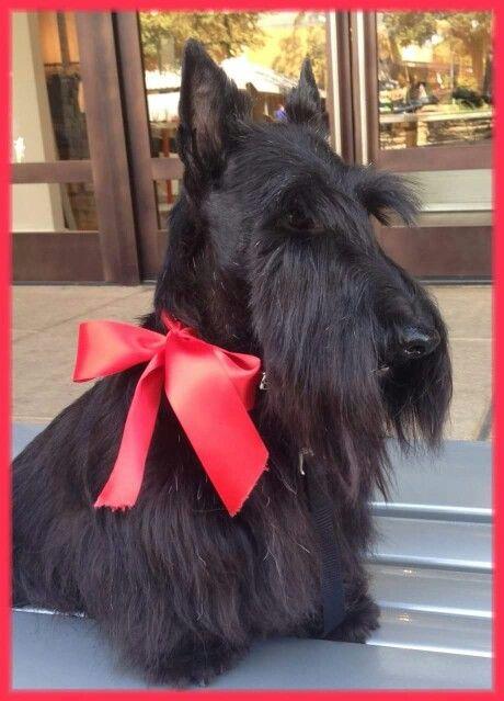 3415 Best Everything Scotty Dog Images On Pinterest
