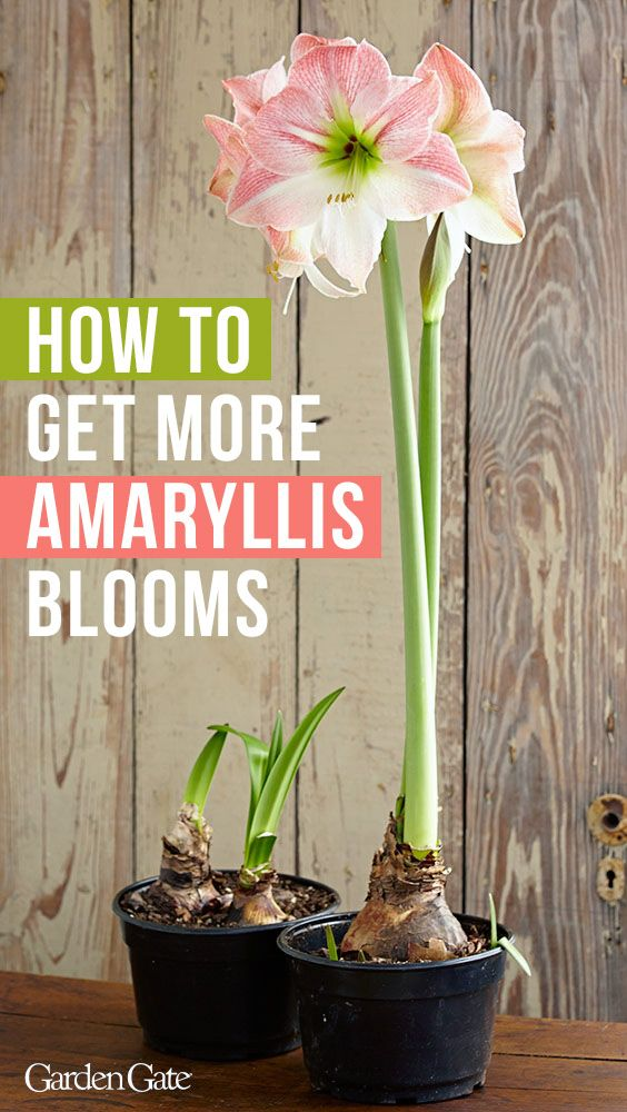 How To Get Your Amaryllis To Bloom Twice A Year Amaryllis Planting Bulbs Container Gardening Flowers
