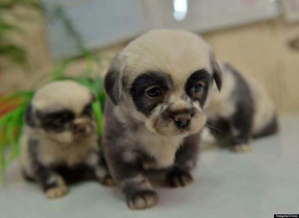 These Adorable 'Panda Dogs' Are Everything Right Now (Photos)