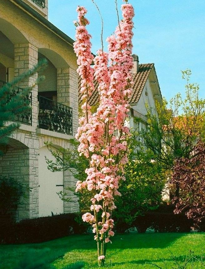 Japanese Flagpole Flowering Cherry Tree Prunus Amanagawa Flowering Cherry Tree Japanese Garden Plants Cherry Plant