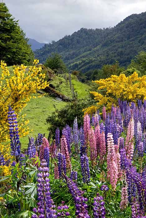 The Mañihuales River valley in spring, lupine and Scotch Broom, XI Region, Chilean Patagonia