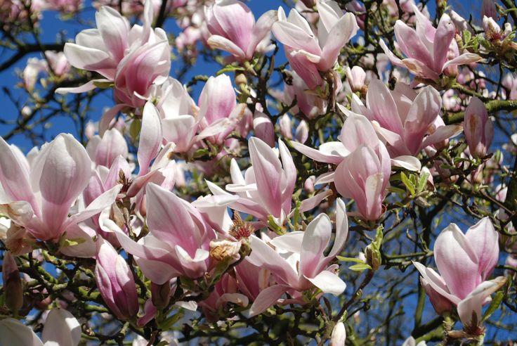De stokoude magnolia boom in de voortuin bloeit elk jaar zeer uitbundig.
