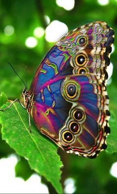 Colorful Blue Morpho butterfly