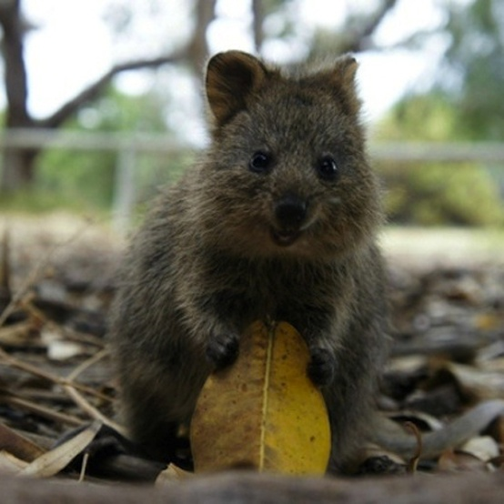 Best Quokka Images On Pinterest Animal Kingdom Happy Animals - 15 photos that prove quokkas are the happiest animals in the world