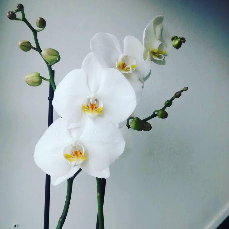 Une superbe orchidée pour une belle réussite. Merci ❤ #fleurs #flowers #orchidée #phalaenopsis #nature #beautiful #flower #fleur #reussiteCRPE #PES #naturephotography #flowerstagram