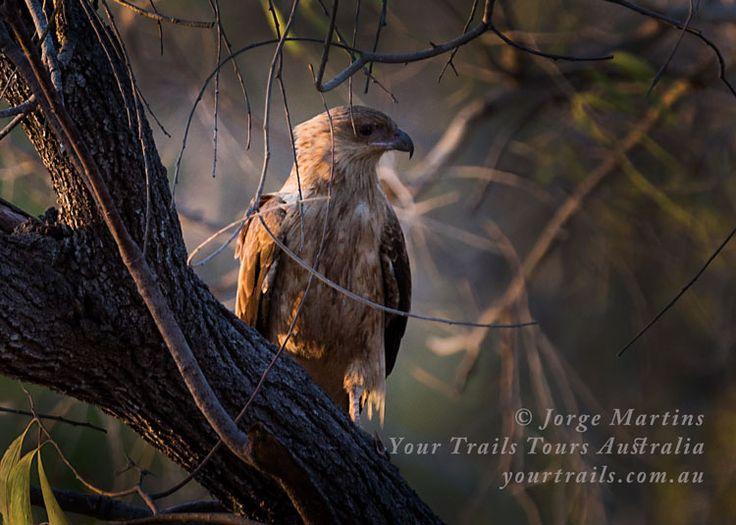 Kite, Bird life at Cape York, Queensland, Australia