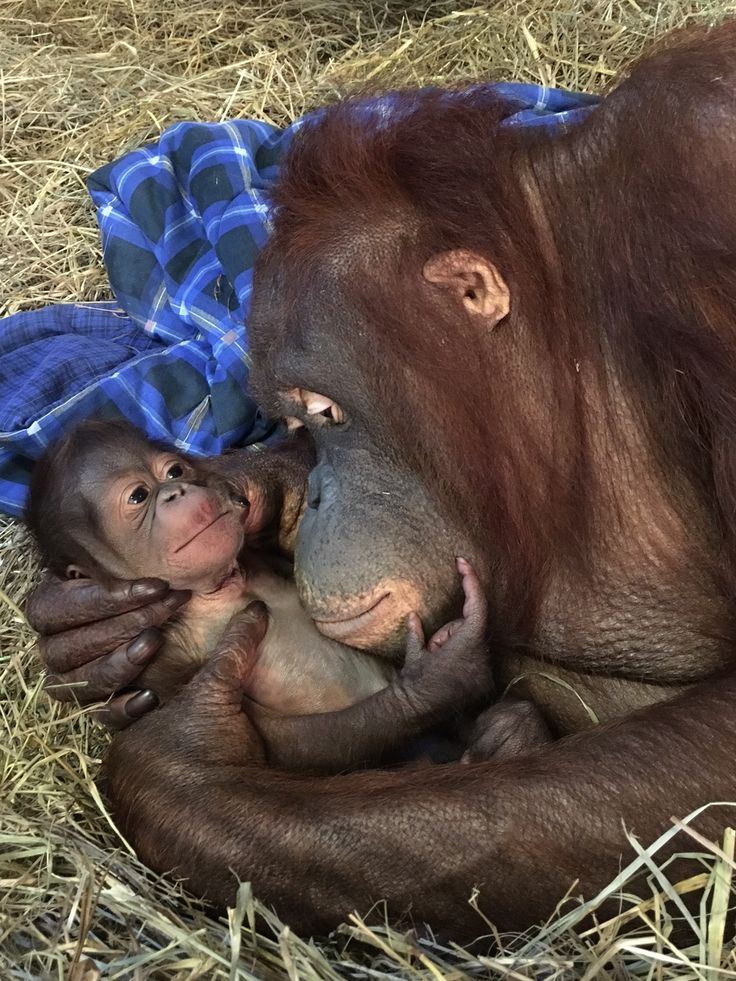 Bornean orangutans, a critically endangered species, give birth about every…