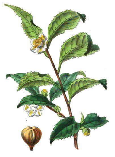 http://www.botanical-online.com/medicinalsteverde.htm