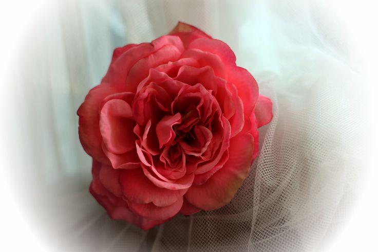 Sophia dark pink rose |