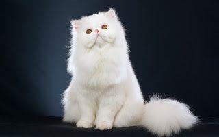 Kucing persia - Jenis, Cara Merawat & Harga kucing Persia | www.agrinak.com