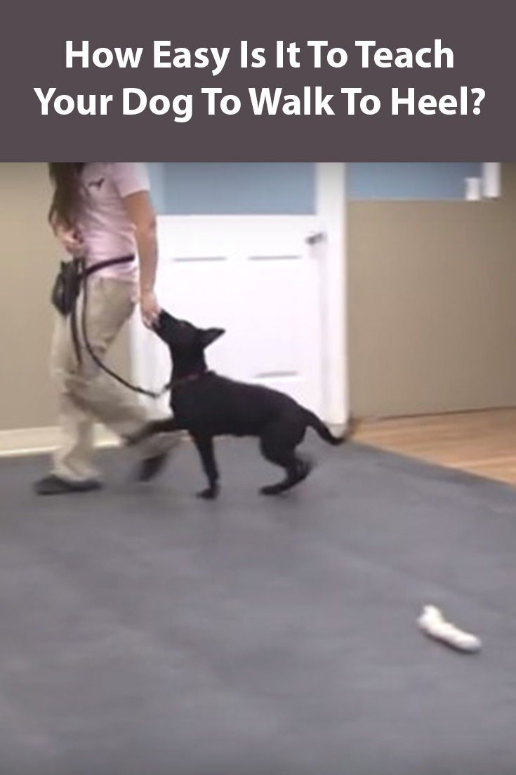 Teach Your Dog To Heel A Step By Step Guide Dog Training