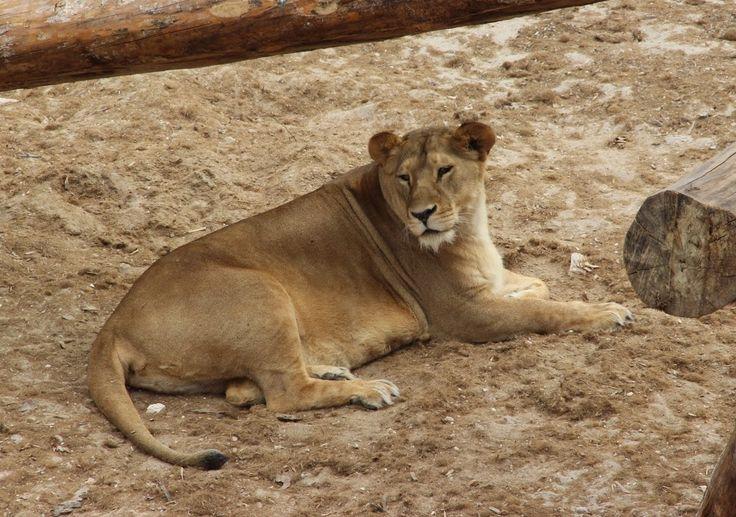 Leona en Río Safari Elche Lyoness at Rio Safari Elche (Alicante, #Spain) #CostaBlanca