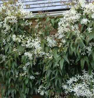 Clematis Amandii - evergreen, blooms at end of winter/beg of spring. fast growing.