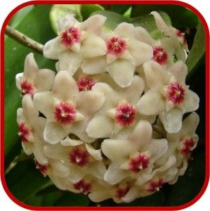 Hoya (Fiore di cera), Consigli Manutenzione e Cura