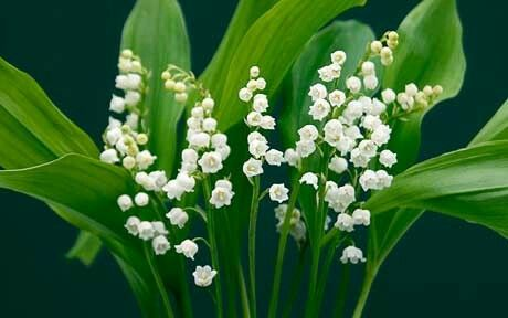 #poison #lilyofthevalley #herbs #green #nature #forest