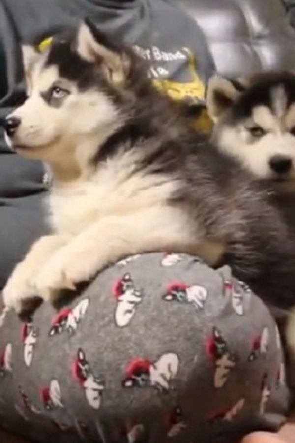 Husky Puppy Argues Over Bath Husky Puppy Talking Video Husky