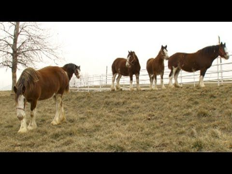 Super Bowl's Baby Clydesdale: A Budweiser Story at Warm Springs ranch featuring Classic Equine's products!