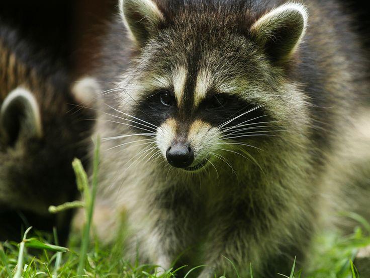 Εσείς τι θα κάνατε αν βλέπατε ένα ρακούν στην αυλή σας;! Μα φυσικά θα βγάζατε τη φωτογραφία της ημέρας! #Raccoon #Backyard #Bandit #picoftheday #NatGeoChannelGR #NGC