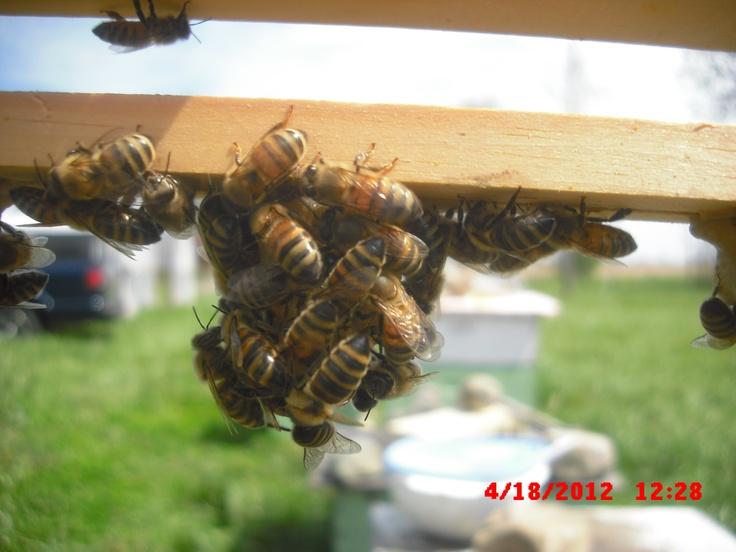 honey she ll perm honey bee keepping bee buzz raise queens common