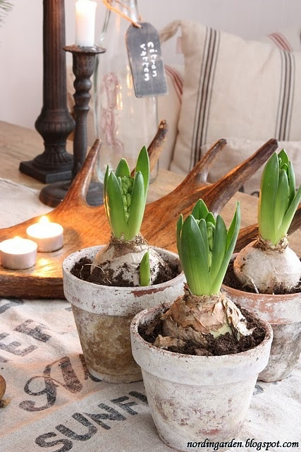 Hyacints in vintage pots!