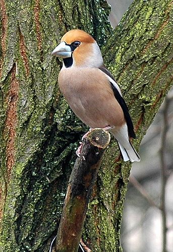 Hawk Finch fairly rare and found in the UK