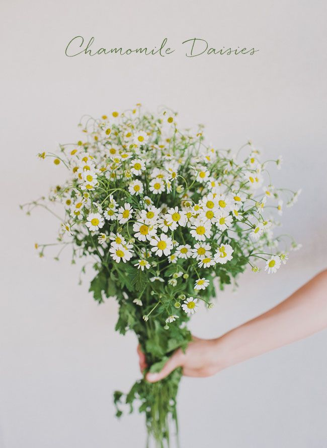 chamomile daisies - perfect for some of the table arrangements (GWS)