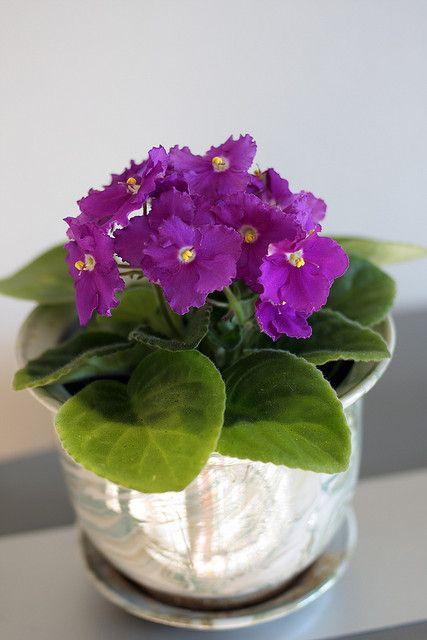 Tricks to growing African Violets by Scott Beveridge / Photo: African Violet by Edward Kaye, via Flickr
