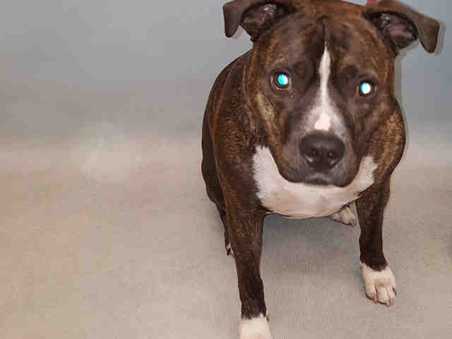 SAFE   BLAZE_a1091332 NEUTERED MALE, BR BRINDLE / WHITE, PIT BULL, 3 yrs OWNER SUR – ONHOLDHERE, HOLD FOR ID Reason OWN EVICT Intake condition EXAM REQ Intake Date 09/26/2016, From NY 10458, DueOut Date 09/29/2016,  Medical Behavior Evaluation YELLOW Medical Summary BARH scan pos#985112001087384 mild tartar clean EEN clean coat overweight neutered very nervous, tense, resisted handling NOSF Weight 90.3