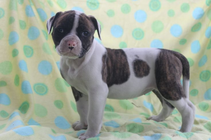 american bulldog puppies for sale in pa 20 best images about english bulldog on pinterest be 9402