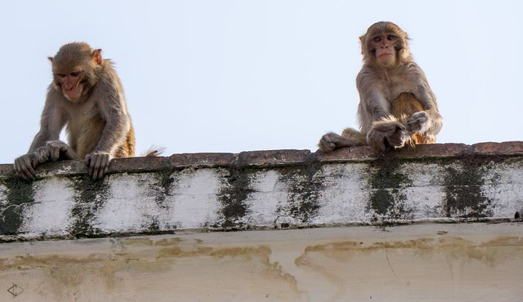 Naughty little monkey's presiding over Kathmandu