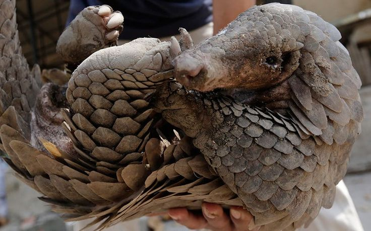 A Cambodian animal keeper carries a male pangolin at Phnom Tamao Wildlife Rescue Center in Takeo province, Cambodia. The world marks the annual Pangolin Day on 20 February to raise awareness for pangolin conservation, as they estimated that every year about 10,000 pangolins are trafficked.