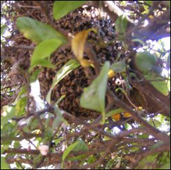 A swarm of bees resting in a tree