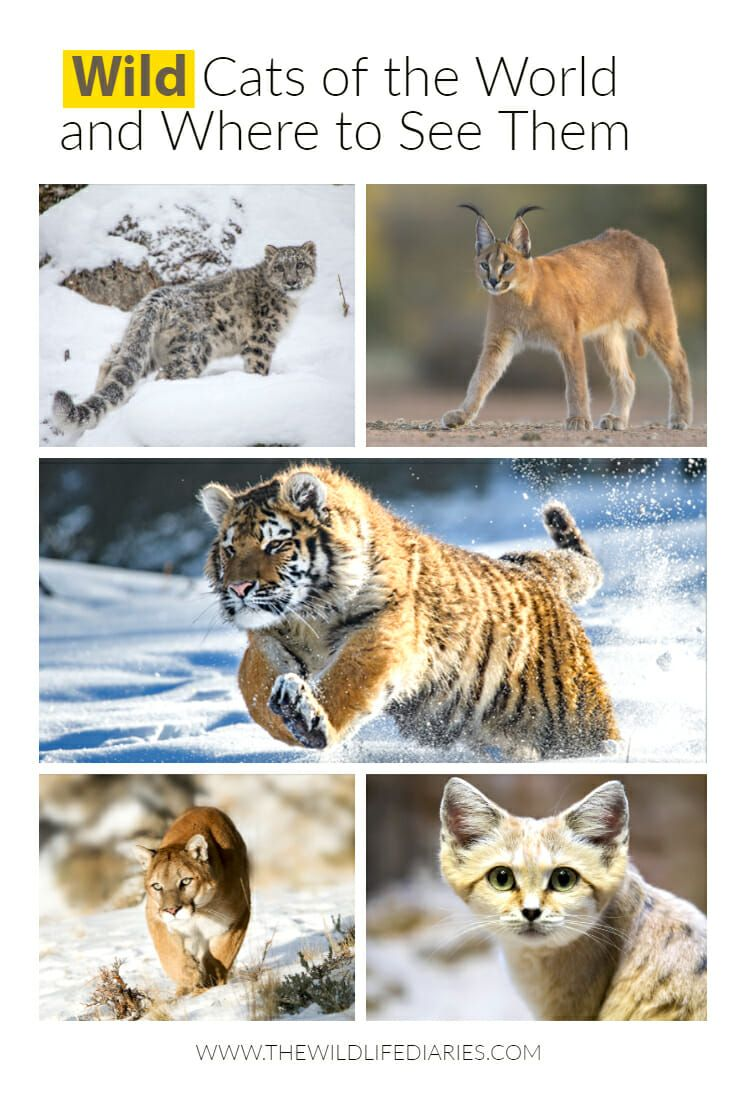 All Types Of Wild Cats And Where To See Them With Images Cat